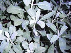 H4 Weißer Salbei, Indianischer Räuchersalbei, BIO