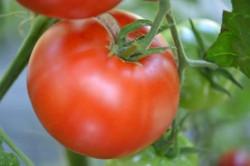 BIO-Pflanze Tomate rund Bonner Beste Alte Tomatensorte