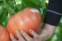 BIO-Pflanze Ochsenherz-Tomate Yasha Yugoslavia Alte Tomatensorte