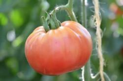 BIO-Samen Tomate Fleisch- Barmales