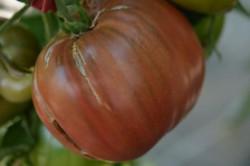 BIO-Samen Tomate Fleisch- Purple Russian