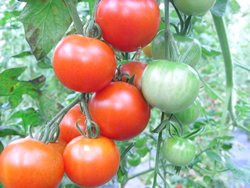 BIO-Samen Tomaten Mini-Fleisch- Red Star
