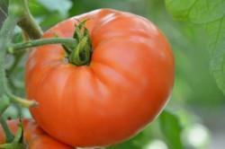 BIO-Pflanze Fleisch-Tomate Burpee's Delicious