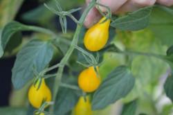 BIO-Pflanze Wild-Tomate Schmucktomate