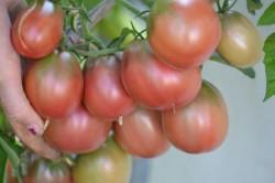 BIO-Samen Tomate Beutel- Evan's Purple Pear