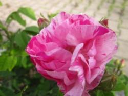 F2 BIO-Rose Apothekerrose Versicolor