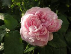 F2 BIO-Rose Königin von Dänemark