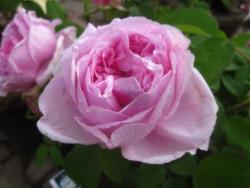 BIO-Rose Comte de Chambord