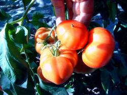BIO-Samen Tomate Fleisch- Marmande
