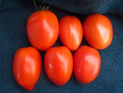 BIO-Samen Tomate rund normal- Flonda
