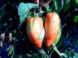 BIO-Samen Tomate Flaschen- Andenhorn