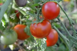 BIO-Samen Tomate Busch- 42 Tage
