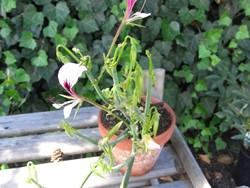 P Pelargonium tetragonum BIO-Pflanze Rarität