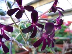 P Pelargonium sidoides Heilpelargonie BIO-Pflanze Rarität