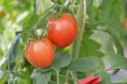 BIO-Samen Tomate rund- Homosa