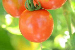 BIO-Pflanze Tomate rund Altaijski Urozajnij Alte Tomatensorte