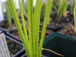 H4 Goldkalmus BIO-Pflanze