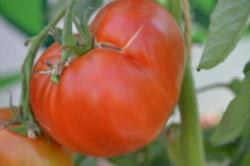 BIO-Samen Tomate Fleisch- Moskowitsch
