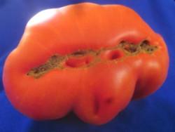 BIO-Pflanze Fleisch-Tomate St.Pierre Alte Tomatensorte