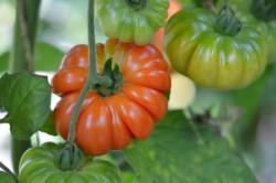 BIO-Samen Tomate Fleisch- Corongo