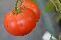 BIO-Samen Tomate Busch- Frühe aus Sibirien
