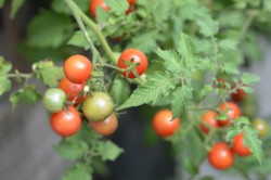 BIO-Pflanze Wild-Tomate Humboldii