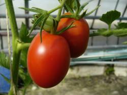 BIO-Pflanze Tomate Eier- DeBerao Alte Tomatensorte