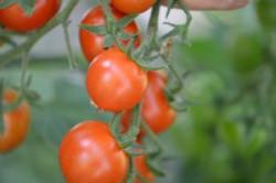 BIO-Pflanze Kirsch-Tomaten Primabella