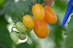 BIO-Pflanze Oliven-Tomaten Freddi