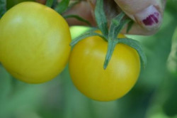 BIO-Pflanze Kirsch-Tomaten Ida Gold