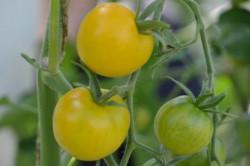 BIO-Pflanze Tomate rund Schönhagener Frühe
