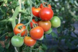 BIO-Pflanze Tomate rund Ruthje