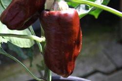 BIO-Pflanze Paprika süß Sweet Chocolate