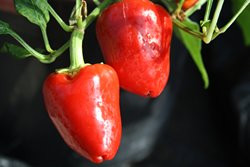 C BIO-Pflanze Paprika leicht scharf Somborcka