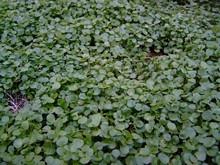 H1 Brunnenkresse  BIO-Kräuterpflanze