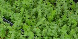 H4 Mehrjährige Petersilie BIO-Kräuter-Pflanze
