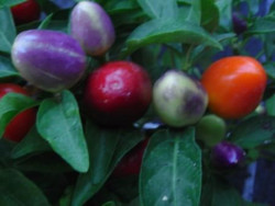 C BIO-Pflanze Chili mittelscharf Italienischer Topfchili