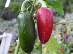 C BIO-Pflanze Chili mittelscharf Jalapeno