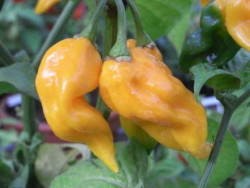 C BIO-Pflanze Chili sehr scharf Fattali