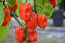 C BIO-Pflanze Chili sehr scharf Habanero Martinique
