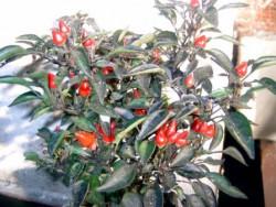 C BIO-Pflanze Chili scharf Schwarzer Kubaner