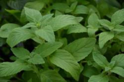 F2/H9 BIO-Kräuterpflanze Minze Bananen-