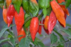 BIO-Samen Chili sehr scharf Habanero Hot Paper Lantern