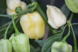 BIO-Samen Chili sehr scharf Habanero Giant White