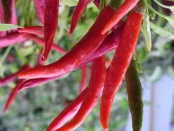 BIO-Samen C Chili leicht scharf Extra Cipös