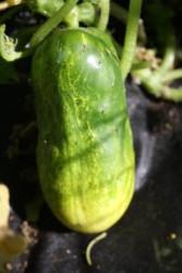 H11 Gurke Braune Sibirische BIO-Gemüsepflanze