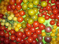 BIO-Samen Tomaten Sortenmischung Cocktailtomaten