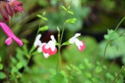 BIO-Pflanze Schwarzer Johannisbeer Salbei Hot Lips
