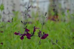 H4 S Schwarzer Johannisbeer Salbei Lilac Wonder BIO-Pflanze