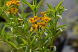 BIO-Kräuterpflanze Yautli, Mexikanische Teetagetes